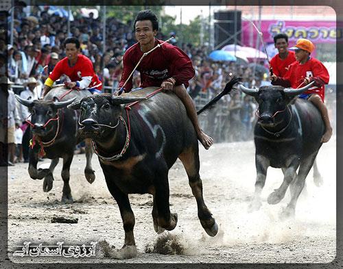 مسابقه-بوفالوسواری-چنبوری-تایلند