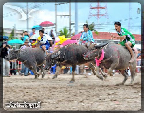 مسابقه-بوفالو-چنبوری-تایلند